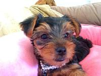 Yorkie puppy - purebred 10wks 1st set of shots -