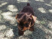 Small black & tan female. Born on (8-8-11) Sweet