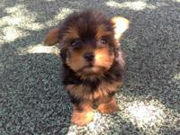 Small black & tan female yorkie puppy. Inside puppy