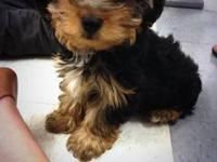 I am sadly selling my 3 month old Yorkie puppy, Gunnar.