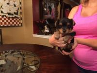 This adorable Yorkie pup is ready for her forever home.