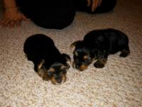 I have one young puppy that is available for sale. My 3