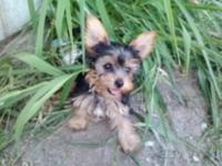 Yorkie Female Puppy Pets And Animals For Sale In The Usa Puppy And
