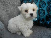 Born on april 16th 2012. Toby is a gorgeous platinum