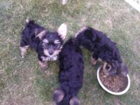 Yorkie pups, 8 weeks, ready for adoption. 3 males. No