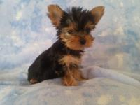 Yorkie puppy's AKC 1female 1male 9 weeks old. Born July
