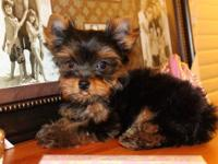 Happy Holidays! I have a male Yorkie puppy available.