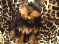 Beautiful little yorkie boy is ready for his forever