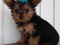 Yorkie Baby Girl Puppy 9 weeks old Tiny Toy size. She
