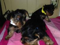 CKC Reg Puppies 3 Males left. Utd on shots and worming.