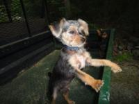 adorable yorkie chihuahua mix- mostly yorkie. dad ia