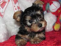 Yorkie Pups Male & Female, CKC Registered, 9 Weeks Old,