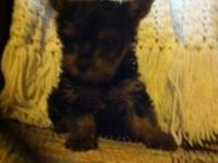 1 Female AKC Yorkie puppy ready to go to her new home.
