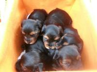 We have three male Yorkies available. They are two from