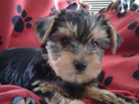 CKC registered pure breed yorkie pups, 2 males left out