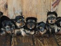 Yorkie pups - males and females. Born June 3, 2012 -