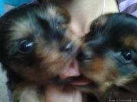 I have 2 male yorkies pups. We have both parents they