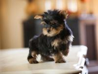 BEAUTIFUL YORKIE PUPS.REGISTERED.9 WEEKS OLD.WILL BE