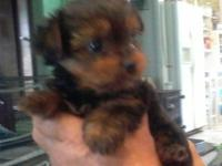 Aca yorkie pups first shot and wormed male 350.00