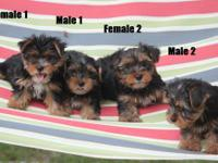 Born on 5/29/13- 4 Yorkie puppies, 2 males and 2