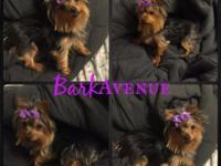 AKC YORKIE PUPPIES *R E A D ~ ALL ~ before contacting