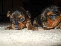 We have 6 yorkies pups 4 males 2 females they are