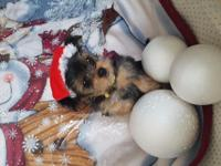 Beautiful yorkie pups ready to go.A perfect family
