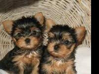 Yorkie pups small utd shots fa!ily raised private