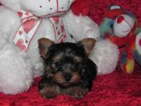 "Yorkie Pups "" Tiny "" Male & Female CKC Registered 8"