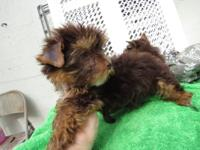 Very rare chocolate & tan Yorkie puppies. We have 1