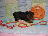 ''Yorkie Boy--''RED''--Born 5-25th-2015.-5 weeks and