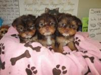 I have available purebred registered yorkie pups male