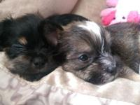 google YORKIE JACK RUSSELL BREED INFO to learn about