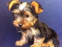I have two yorkie's a for sale. They were born on April