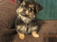 One male black and tan Yorkie and Shih Tzu puppy. Happy