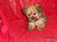 We have shorkie babies available . They have been