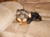 Adorable little male Yorkie mix pups available now.