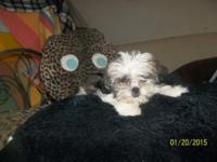 Yorkie/Shitz, type,3 Females,2 males ... Very cute & &