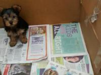 Hi I have a 10 week old Male Yorkie-Silky puppy looking