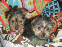Silkshire Terriers (Silkie/Yorkie Mix) Beautiful Little