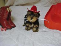 "Small 'Yorkie Girl--""Red""-Born 8-22-2015.-11 weeks and"
