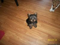 Small male Yorkie ready for his new home>  He was