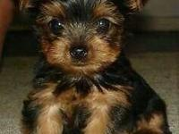 9 weeks absolutely lovable, beautiful silky coat, comes