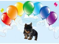 Yorkie Female Super,Super Tiny BABY FACE paper and
