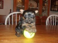 Charming Yorkie young puppies - women and boys, AKC.