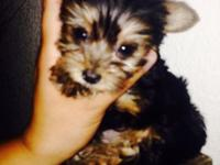 Litter of two, one left. An adorable Female. She is