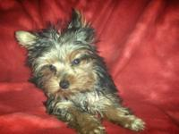 She is only 3 pounds 8 months old akc reg . Please call