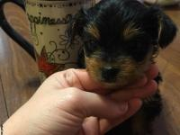 Teeny is a little yorkie girl charting 3-4pounds. $200