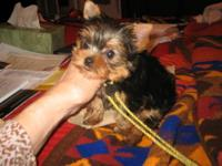 Darling tiny teacup yorkie female 10 weeks out of AKC