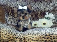 Yorkie tiny gorgeous female charting 4 pounds adult.